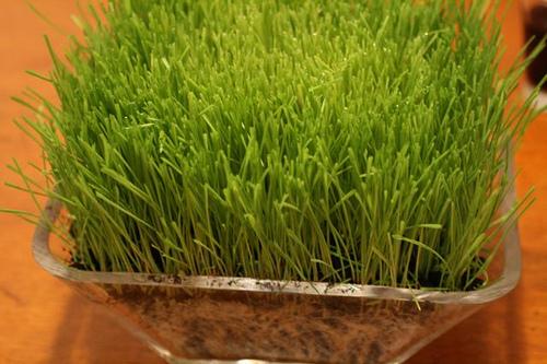 pšenične trave