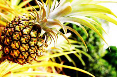 1017477_pineapples_2