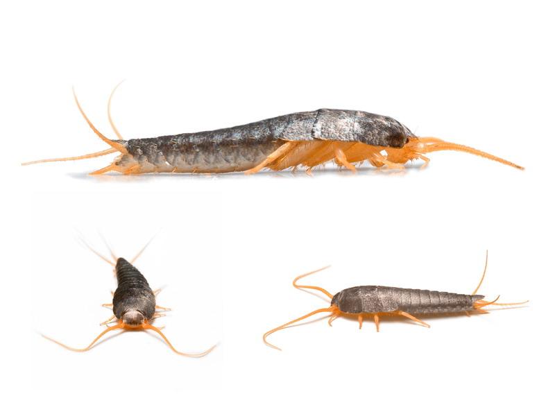 insekt srebrna ribica
