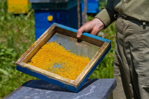 pčelinji polen