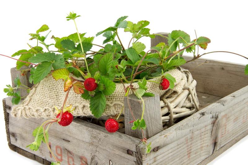 divlje jagode u gajbi