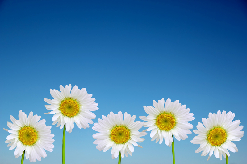http://www.dreamstime.com/royalty-free-stock-image-chamomile-flowers-closeup-against-clear-blue-sky-image36790186