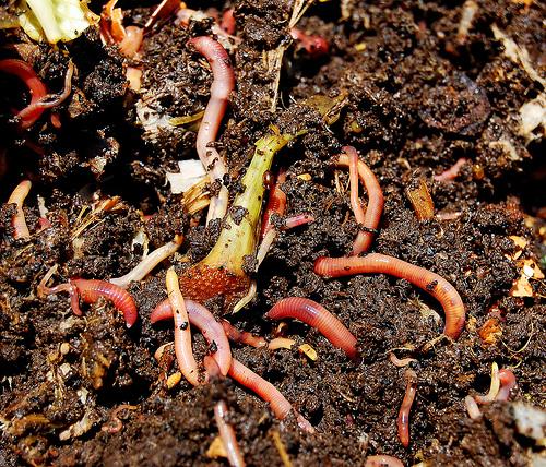 kompost gliste 1