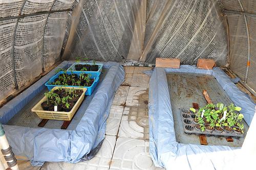 sadnice semenje