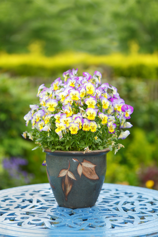 http://www.dreamstime.com/royalty-free-stock-photo-colorful-flowers-pot-pansies-pink-yellow-image31645905