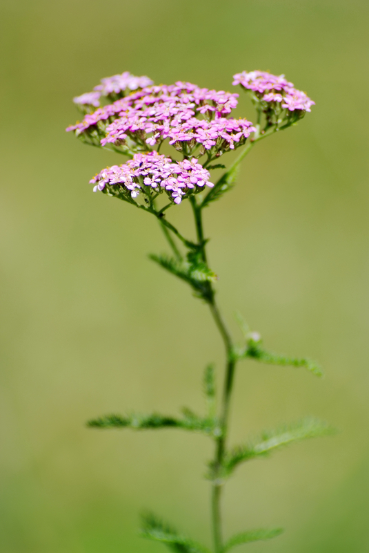 http://www.dreamstime.com/royalty-free-stock-photography-common-valerian-image15602147