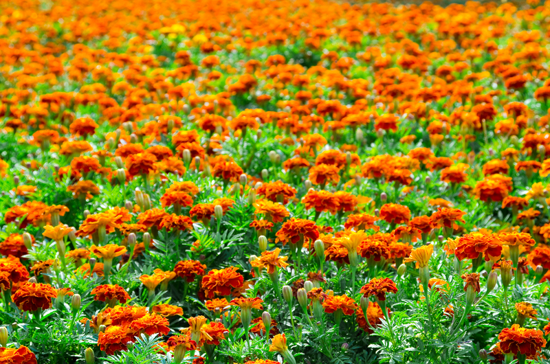 http://www.dreamstime.com/stock-photography-marigold-field-image26649492
