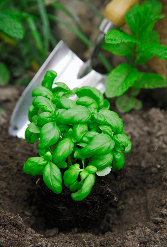 http://www.dreamstime.com/stock-image-basil-being-transplanted-herb-garden-image24890631