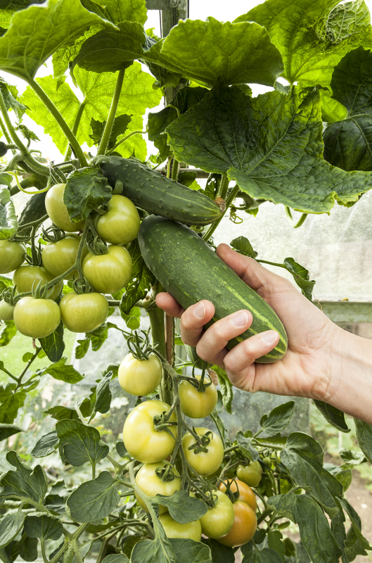 http://www.dreamstime.com/royalty-free-stock-photography-harvesting-cucumbers-person-picking-home-grown-mini-cucumber-image34367417