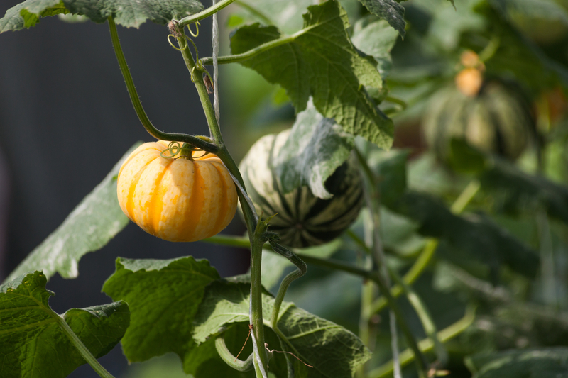 http://www.dreamstime.com/royalty-free-stock-photo-pumpkin-vegetable-garden-growing-image31754065