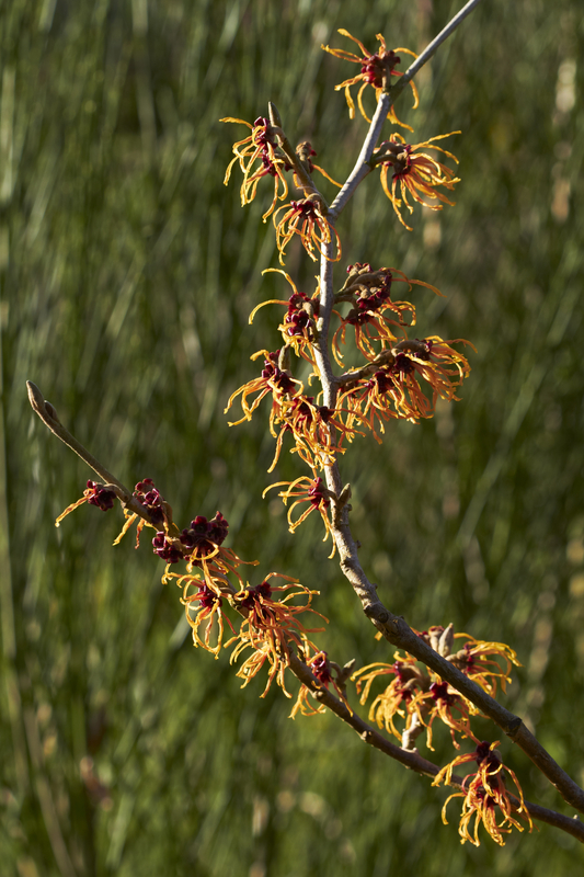 http://www.dreamstime.com/stock-image-witch-hazel-image37708991