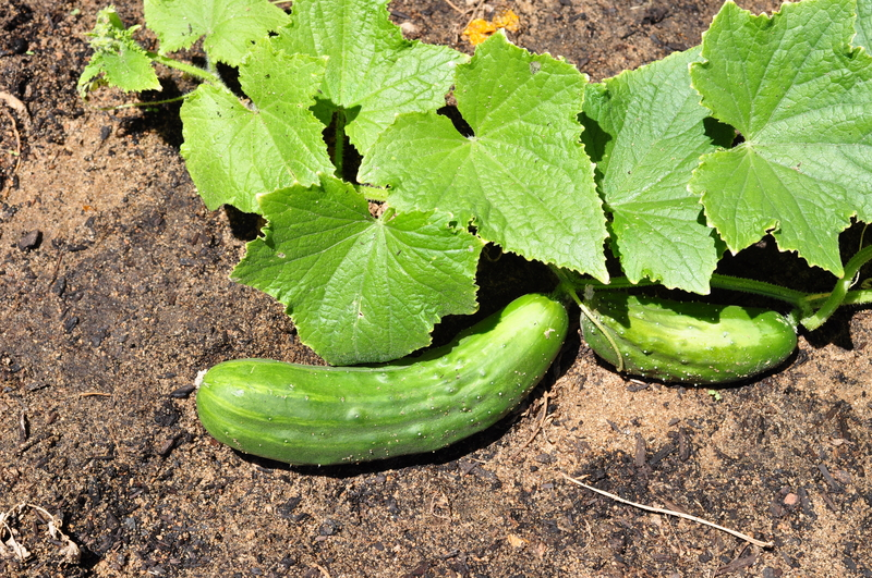 http://www.dreamstime.com/royalty-free-stock-photo-cucumber-vegetable-garden-cucumbers-growing-image37727595