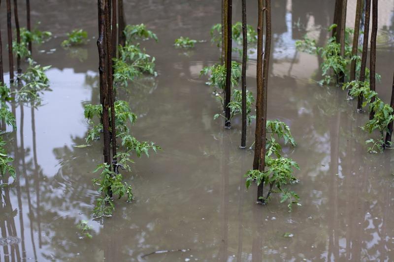 poplavljen paradajz