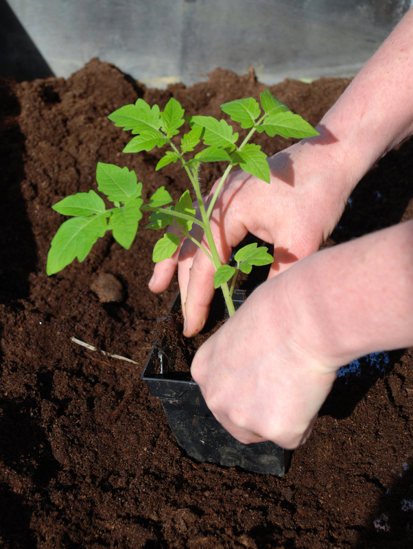 http://www.dreamstime.com/royalty-free-stock-photos-tomato-planting-image7780678
