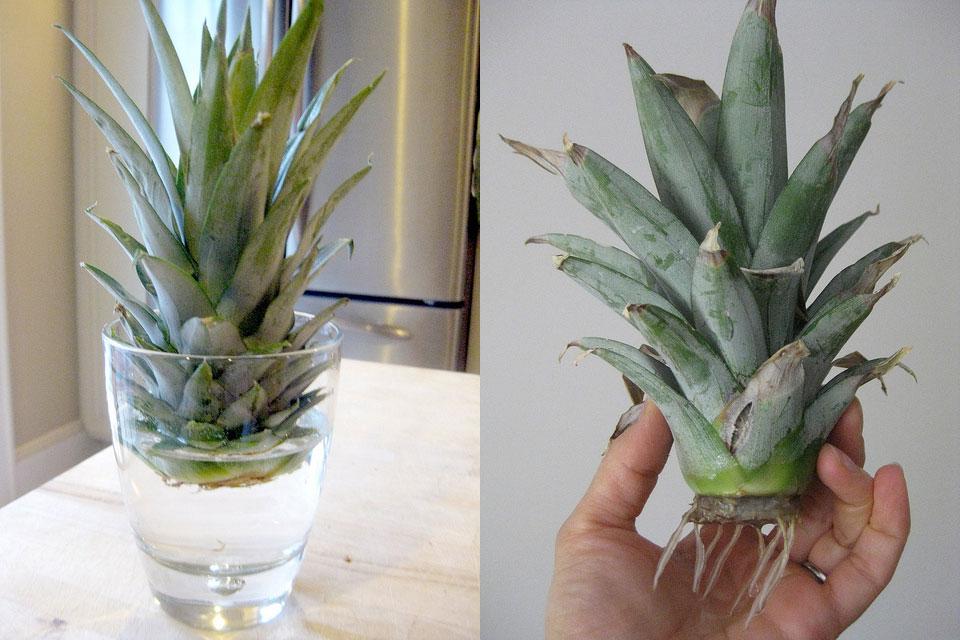 ananas7