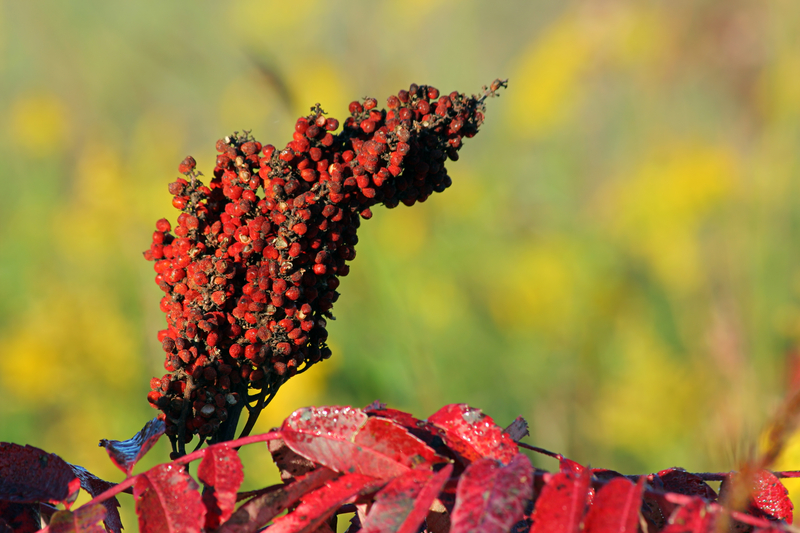 http://www.dreamstime.com/royalty-free-stock-images-sumac-seeds-image1303709
