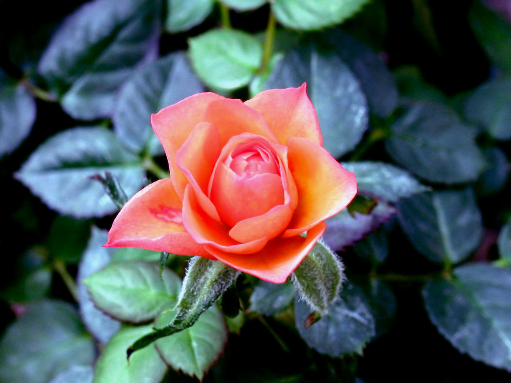 flower_-_Wild_rose