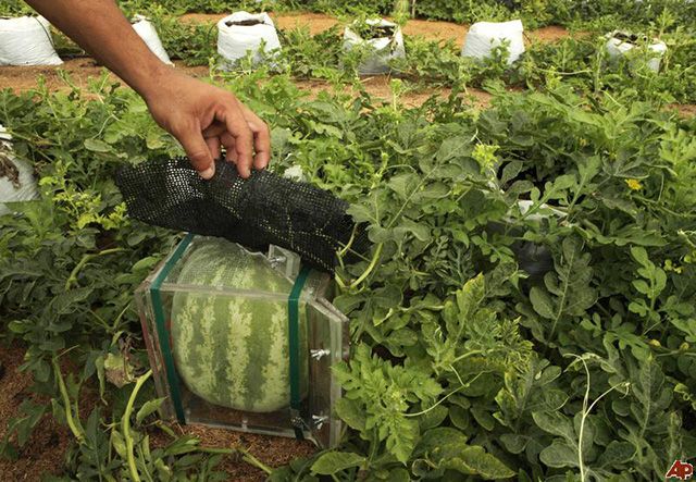 square-watermelons-2010-4-28-17-31-14