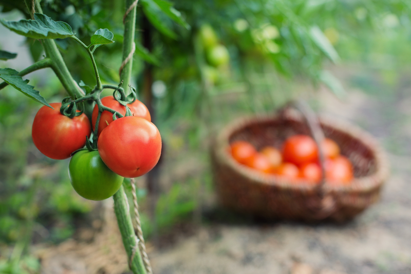 http://www.dreamstime.com/royalty-free-stock-photos-red-organic-tomato-plant-fruit-outdoors-image33397578