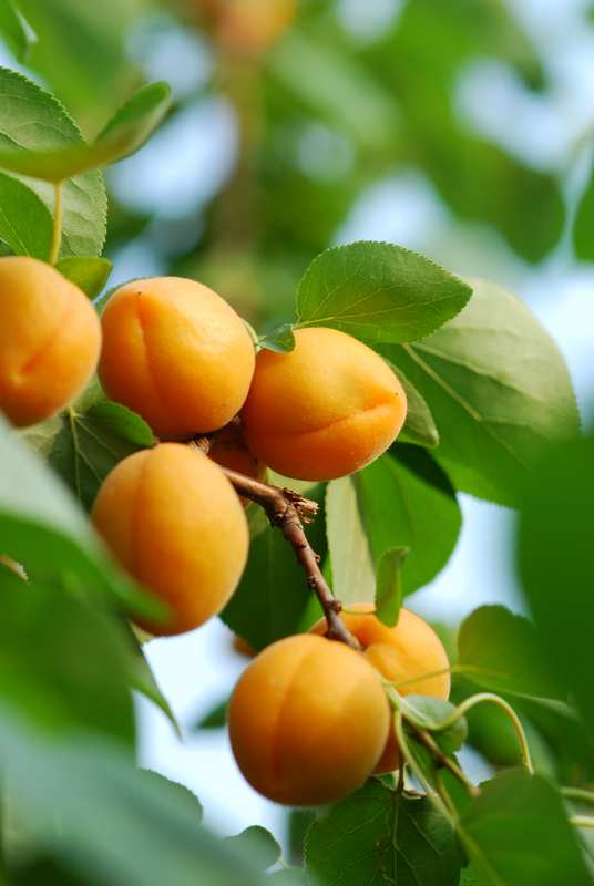 http://www.dreamstime.com/stock-images-apricot-image14775564
