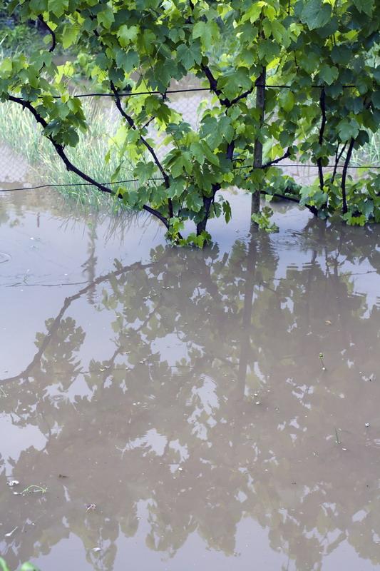poplava u vinogradu