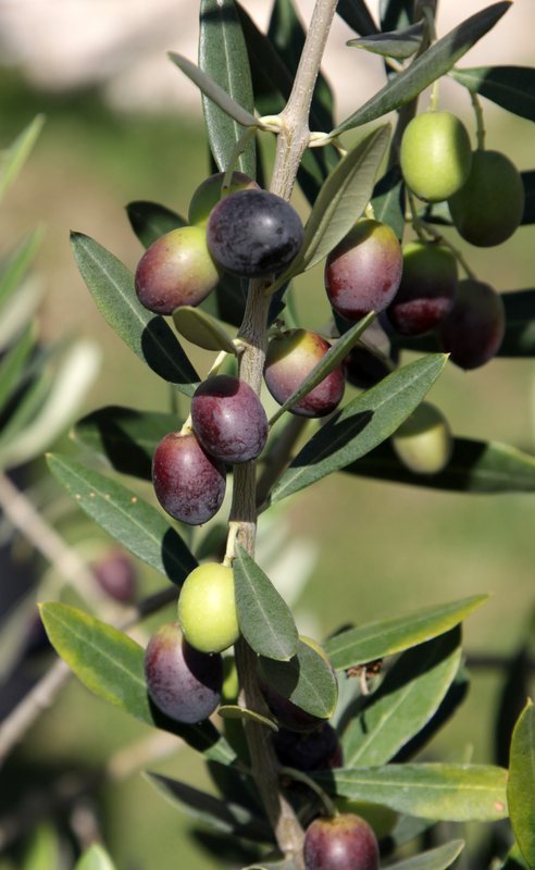 http://www.dreamstime.com/royalty-free-stock-photo-olives-tree-image23203895