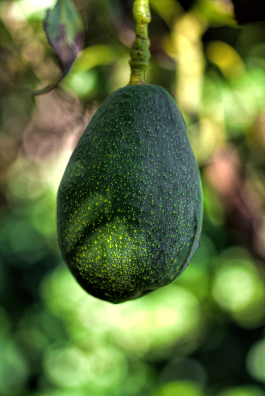http://www.dreamstime.com/royalty-free-stock-image-avocado-tree-big-green-ready-to-be-picked-image36983296