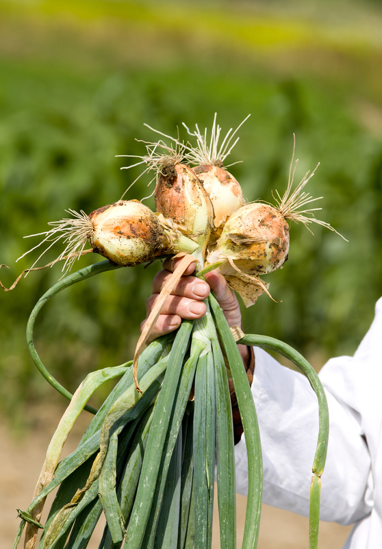 http://www.dreamstime.com/stock-photo-onion-agronomists-hand-male-white-coat-holding-spring-ground-image41873770