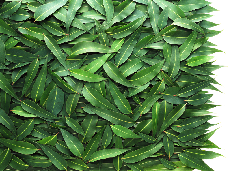 http://www.dreamstime.com/royalty-free-stock-images-eucalyptus-leaf-image16268629