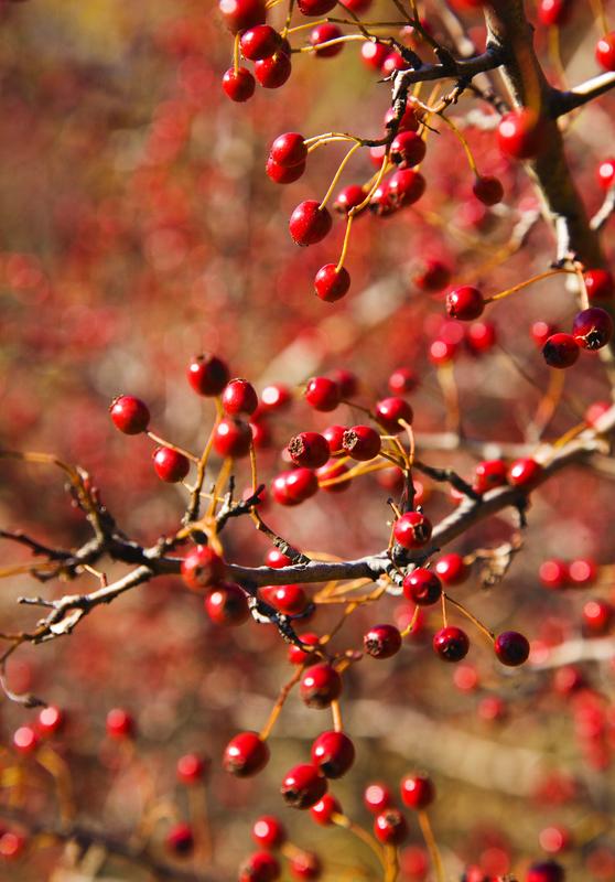 http://www.dreamstime.com/stock-image-hawthorn-berries-image8129131